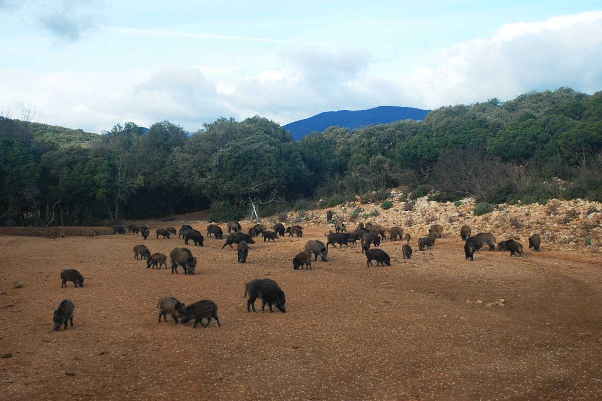 Wild boar feeding on field