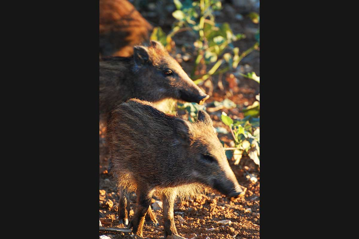 Two wild boar piglets