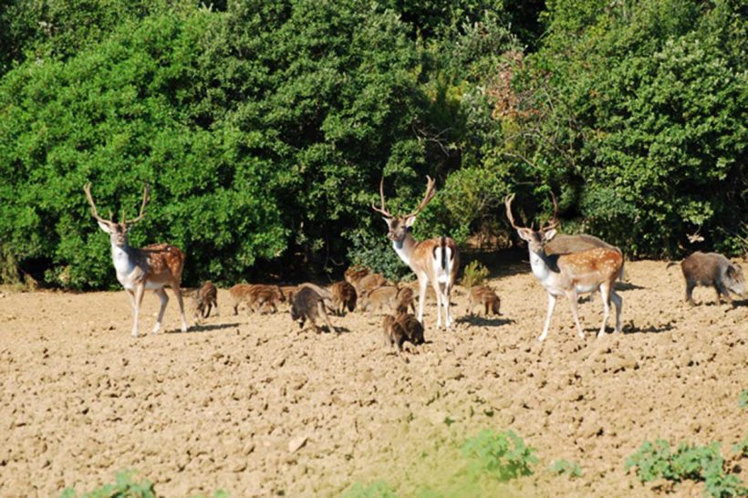 Fallow deer stags and wild boar