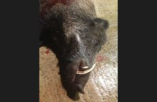 Close up of boar with gold medal tusks