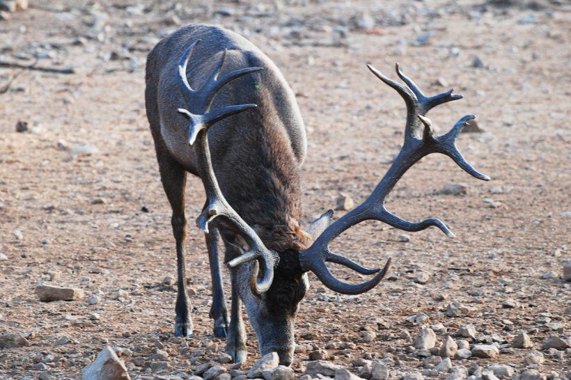Red deer stag with 10+ kg antlers