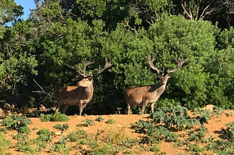 Mature red stags