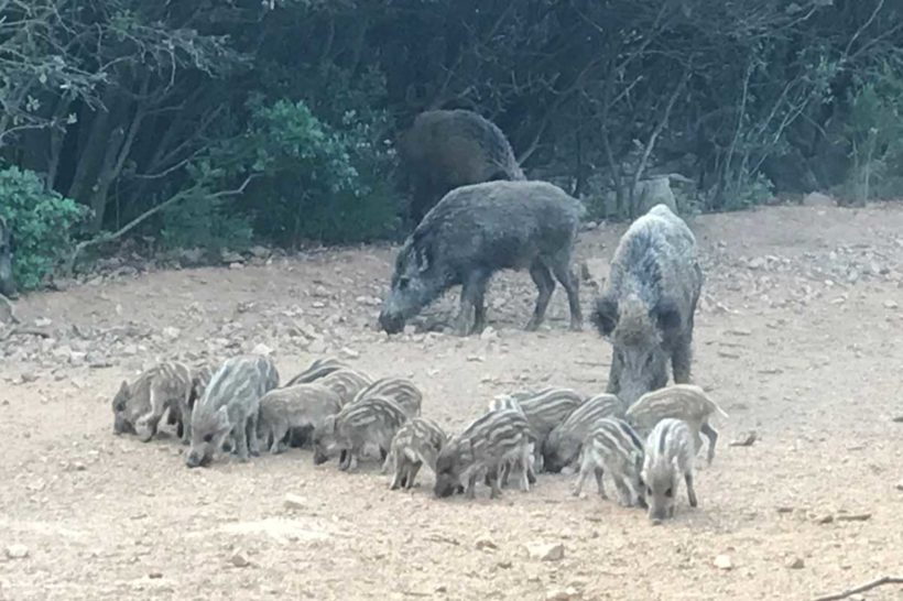 Sows with small piglets